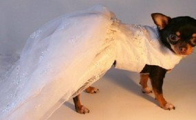 Chihuahua Dressed Up in a wedding dress
