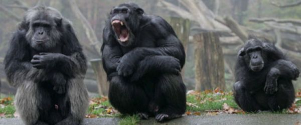 Photo of ex-alpha male chimp with other chips waiting for food on a river bank