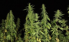 Photo of tall marijuana plants