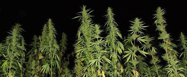 Photo of tall marijuana plants