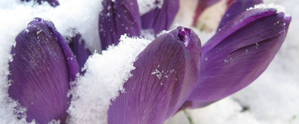 Photograph of violets poking through the snow