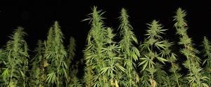 Photo of ten foot high marijuana plants