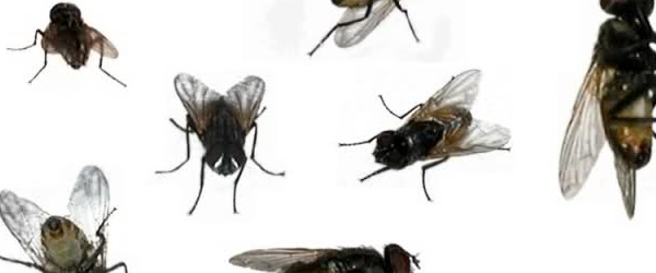 Decorative image of common house flies in different possitions